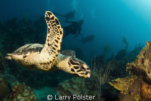 Hawksbill cruising the reef in Roatan. D300-Tokina 10-17mm by Larry Polster 
